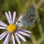 Les papillons en Alsace : la liste rouge!