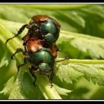 Le Hanneton des jardins ou Hanneton horticole (Phyllopertha horticola