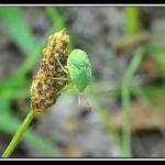 La punaise verte (Palomena prasina