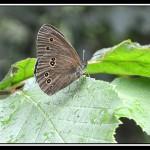 Le Tristan, Aphantopus hyperantus